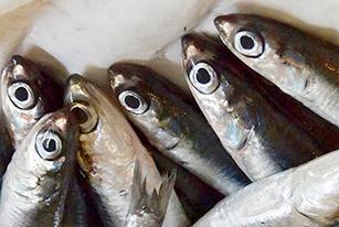 Misure tecniche pesca piccoli pelagici Adriatico 2019 2021